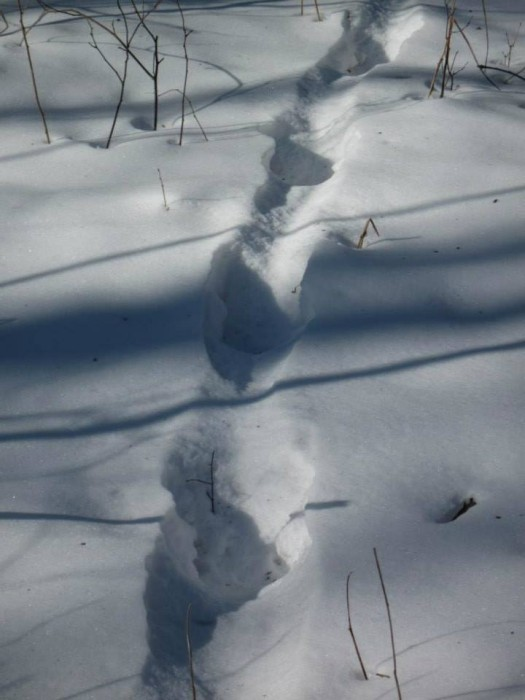And this is a wild boar track. Its legs are shorter than those of a sika deer and roe deer, so it makes much roomy trail in the snow. Wild boars often move following each other. Then it turns out into a real road.
