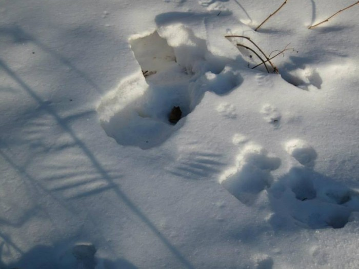 Here is another puzzle about the snow. Some spent the night under the snow, because it's warmer and safer. But when that someone made it out, its wings imprinted on the snow cover. There is a flower with the same name; it grows in our woods in the spring.